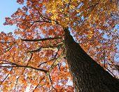 Old Oak Tree In The Fall