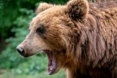 Bear With Open Muzzle. Portrait Of Brown Kamchatka Bear (ursus Arctos Beringianus). Detail Face Port poster