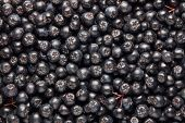 Freshly picked homegrown aronia berries. Aronia, commonly known as the chokeberry. Full frame shot o poster