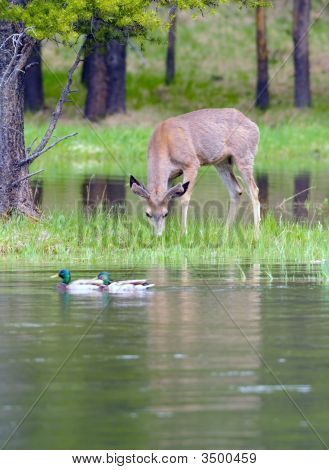 Mule Deer And Mallards