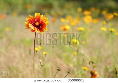 Sundance, Firewheel or Indian Blanket Flower