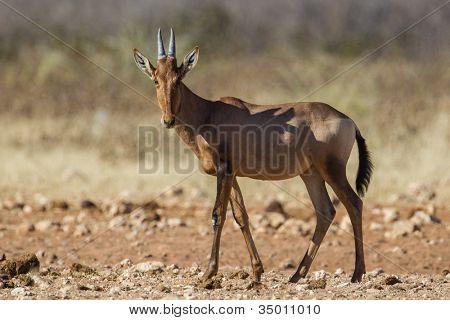 Hartebeest in Etosha National Park, Namibia