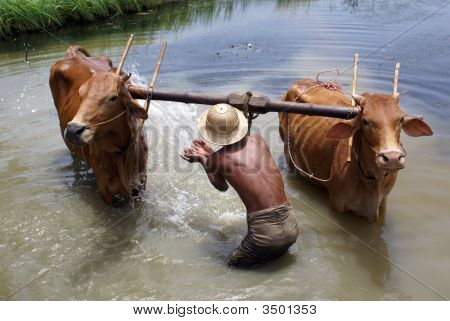 Man And Cattle