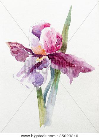 Hand drawing of iris. Watercolor