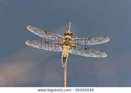 vier Gefleckte Chaser Libelle