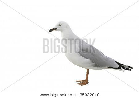 New Zealand red-billed gull isolated on white