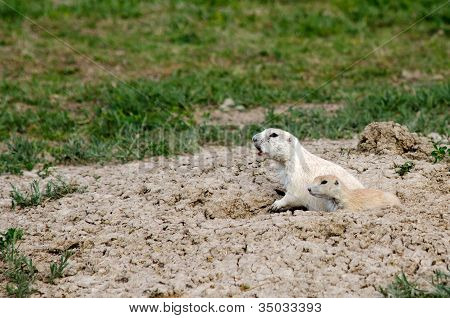 Prairie Dogs in Badlands National Park