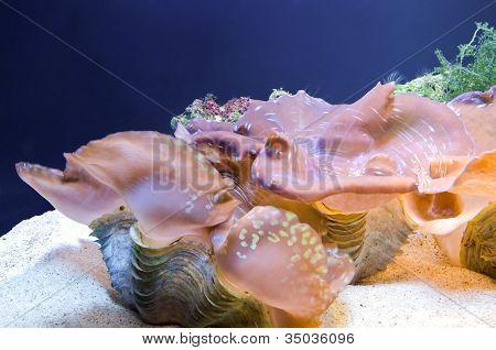 Kind Of Large Shellfish Of Marine Life