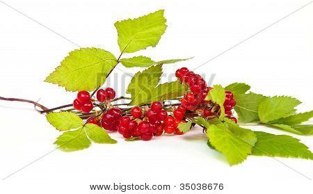 Rubus Saxatilis Or Stone Bramble