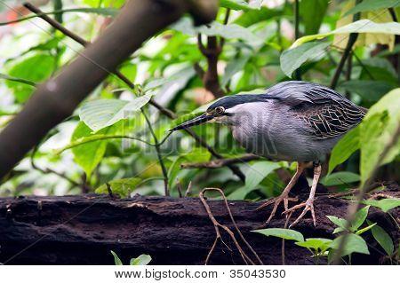 Striated Mangrove Heron