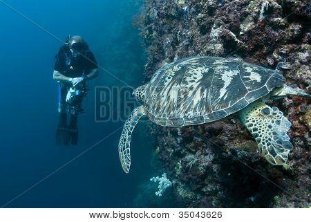 Diver Watching Green Turtle At Sipadan