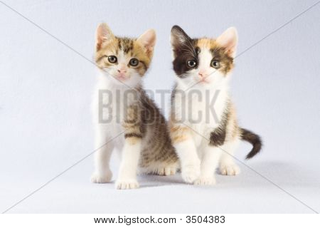 Two Kitten Standing On A Floor, Isolated