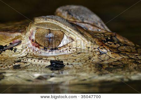 Olho do jacaré