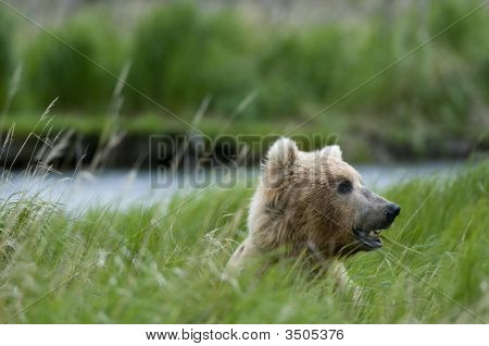 Brown Bear Chewing Grass