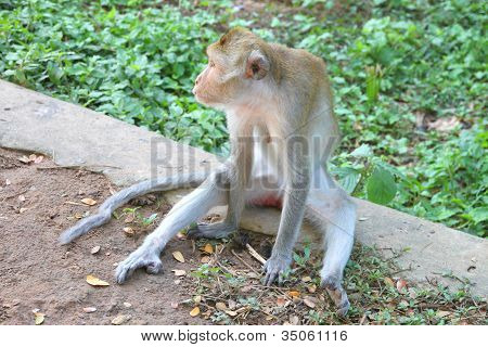 Crab-eating Macaque Or Long-tailed Macaque