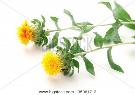 Sideways two safflower flowers