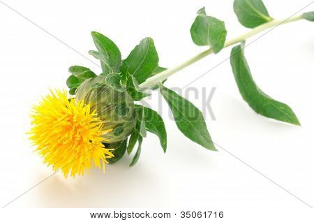 Sideways one safflower flower