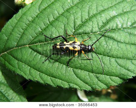 Yellow and Black Beetle