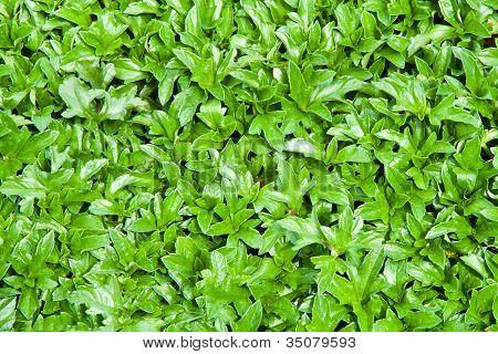 Wedelia Leaves .
