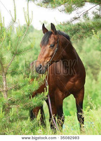 Beautiful Trakehner Stallion In Pine Forest