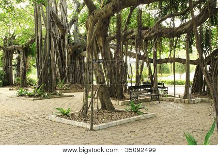 Aged Weeping Fig