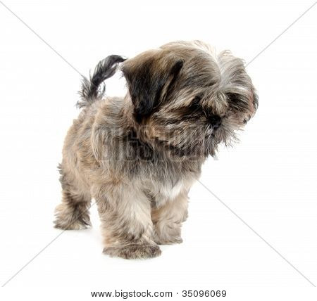 Shih Tzu Puppy Begging