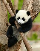 Giant panda baby over the tree