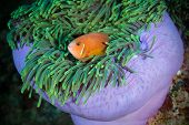 Maldivian Clown Looks Out From Sea Anemone, Maldives