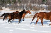 picture of shire horse  - Herd of running horses in the winter - JPG