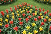 picture of tillandsia  - Yellow and red flowers guzmania beautiful green leaves - JPG