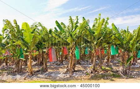 Banana Plantation, Top-dressed