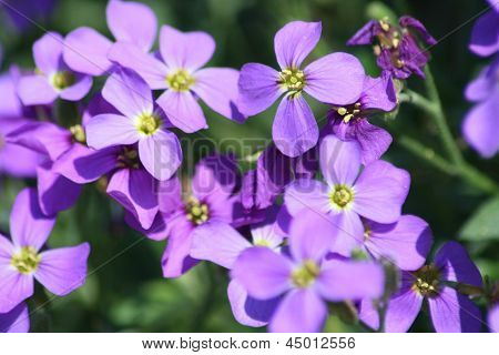 Blue Pillow  (aubrieta)n (aubrieta)