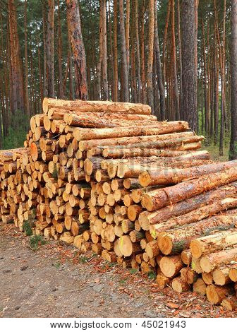 Freshly harvested Scots Pine (Pinus sylvestris) logs on a stack. Environmental concept.