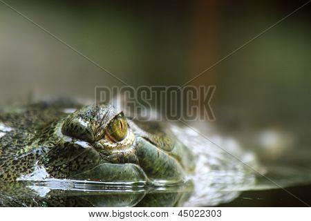 Aligator Eyes