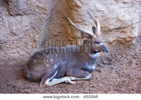 Antelope Or Deer Lying In The Sun In A Zoo