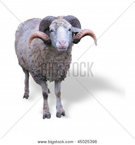 Sheep Ram With Horns Over Green Grass