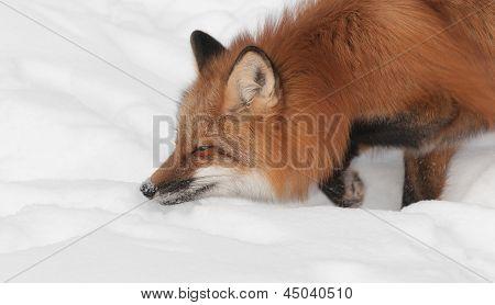 Red Fox (Vulpes vulpes) Prowl