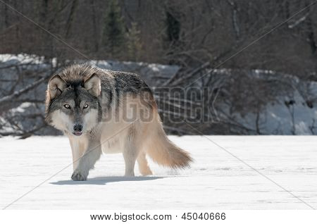 Grey Wolf (Canis lupus) Prowls On Riverbed