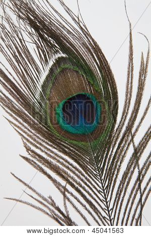 One peacock feather