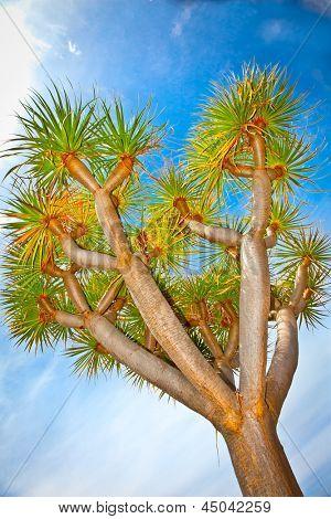 Dragon tree (Dracaena draco) Icod de los Vinos in Orotava, Tenerife, Canary Islands. Spain.This tree is the natural symbol of the island of Tenerife.