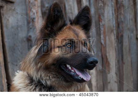 Sentry Dog