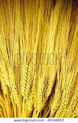 Stalks Of Golden Wheat