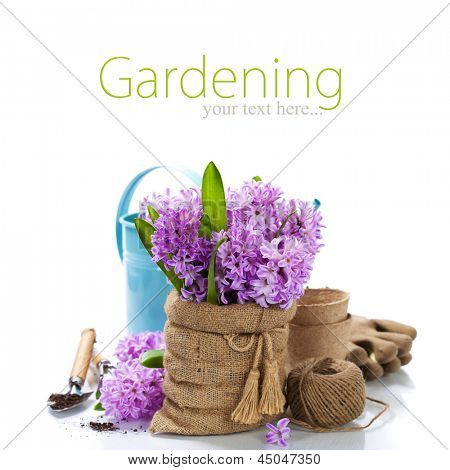 Beautiful Hyacinths in vase and garden tools over white (with easy removable sample text)