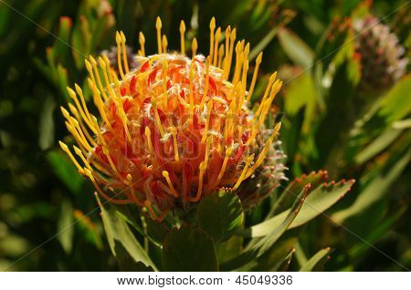 Pincushion Protea Plant