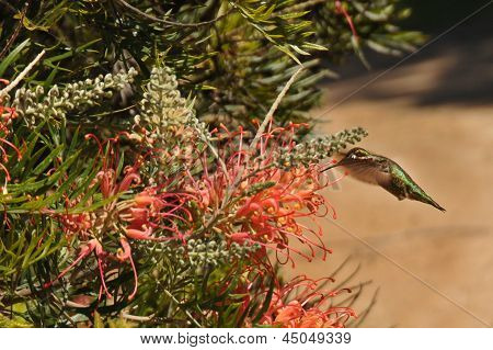 Hummingbird Feeding On Nectar