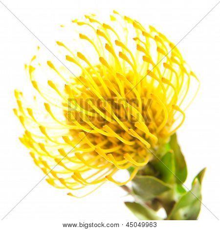 Yellow Protea Background