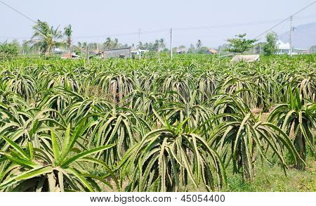 Pitahaya (dragon Fruit) Plants