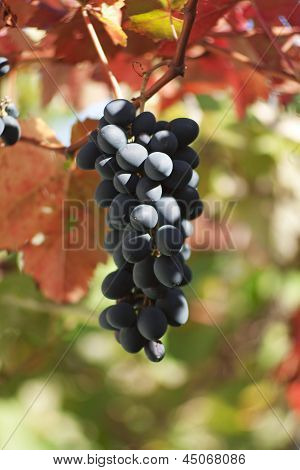 Black Grapes With Colorful Leaves