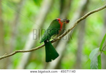 Red-bearded Bee-eater (nyctyornis Amictus)