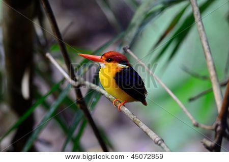 Female Black-backed Kingfisher (ceyx Erithacus)